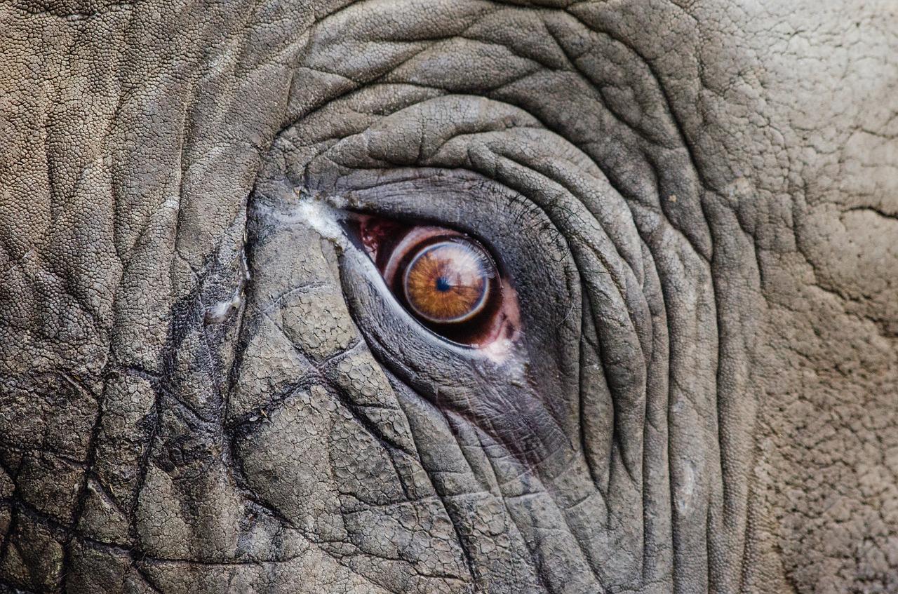 A close up of an elephant's eye.