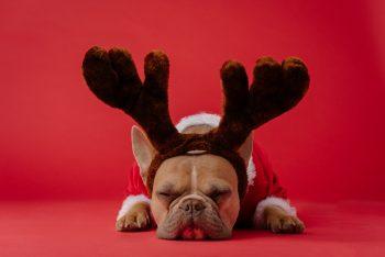A dog wearing a reindeer antlers headband.